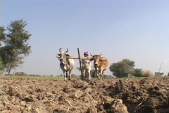 Oxen pull a plow in a field in India. Stock Footage