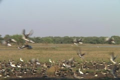 A large flock of birds flies from wetlands at Bharatpur National Park. Stock Footage