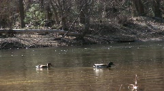 Two ducks swim along a fast-flowing stream in early winter Stock Footage