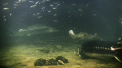 Underwater footage of various fishes and sting ray Stock Footage