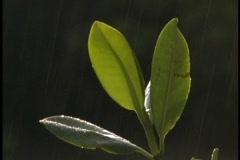 Rain falls on individual mangrove leaves. Stock Footage