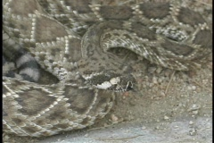 A coiled rattle snake flicks its' tongue rapidly. Stock Footage