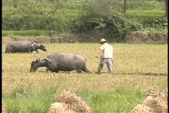 Farmers walk behind oxen in a rice paddy field. Stock Footage
