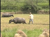 Stock Video Footage of Farmers walk behind oxen in a rice paddy field.