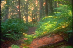 A trail runs through a lush redwood forest in California. Stock Footage