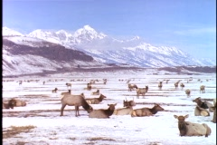 A herd of Elk rest and graze in a valley below the Grand Tetons. Stock Footage