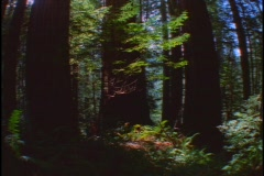 Tall, redwood trees reach up to a blue sky. Stock Footage