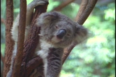 A koala bear rests between tree branches. Stock Footage