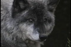 A gray wolf rests and watches on a forest ledge. Stock Footage