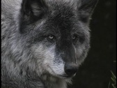 Stock Video Footage of A gray wolf rests and watches on a forest ledge.