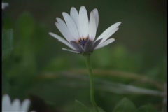 A daisy blooms open. Stock Footage