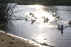 Ducks waddle onto shore from a golden pond. Stock Footage