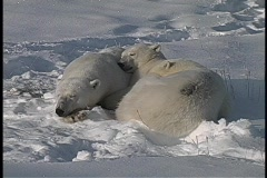 Three polar bears huddle and sleep in the Arctic snow. Stock Footage