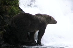 A bear waits patiently for a salmon swimming upstream to jump close enough for Stock Footage