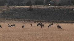 A herd of deer graze in a distant field Stock Footage