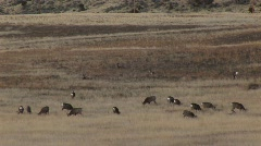 Montaasi laiduntaminen peuroja ja katettu vaunu Arkistovideo