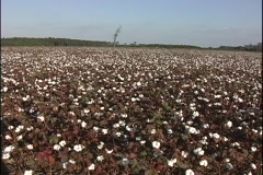 Fields of cotton bloom in South Carolina. Stock Footage