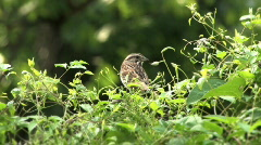 Wren in Bushes Outside Stock Footage
