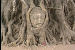 The roots of a banyan tree surround the head of a Buddha statue. Stock Footage