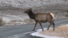 Camera follows two female elk as they cross the road Stock Footage