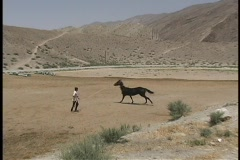 A young man exercises an Akhal-Teke horse on sandy ground. Stock Footage