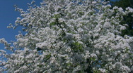 Stock Video Footage of Pear tree with white blossom