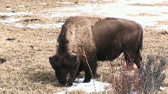 A grazing bison with its shaggy molting coat pokes through dead grass Stock Footage
