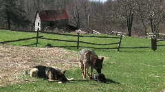 German Shepherd dogs sit in a rural field playing with a stick. Stock Footage