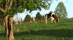 A Holstein cow grazes in a green meadow. Stock Footage