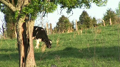 As a Holstein dairy cow grazes in a peaceful meadow, another Stock Footage