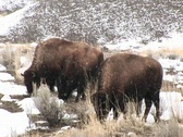 Stock Video Footage of A herd of bison graze hungrily during a light snow on the prairie
