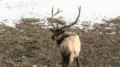 A wary male elk gives the camera a backwards look and resumes grazing Stock Footage