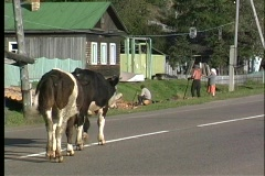 A pan shot of two black and white cows walking down the middle of a road in the Stock Footage