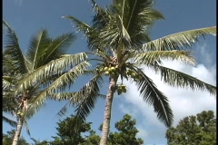 Green coconuts grow on a palm tree on Paradise Island. Stock Footage