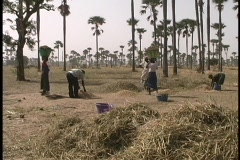 A medium-shot of farm-workers threshing grain by hand in  Africa. Stock Footage