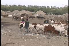 People herding cattle in a village in Senegal, West Africa. Stock Footage