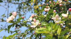 Apple Flowers and apple tree Stock Footage