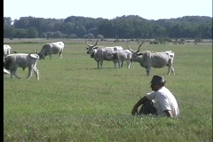 A medium shot of traditional cattle grazing in a green pasture in Pusta, Stock Footage