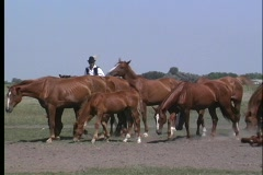 A male, in native costume, rides his horse through a herd of horses  Stock Footage