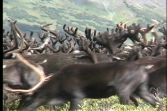 Medium shot of a reindeer heard roaming the plains of Kamchatka, Siberia. Stock Footage