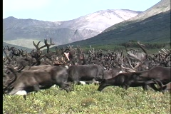 A medium shot of a herd of reindeer on a grass covered hillside in Kamchatka, Stock Footage