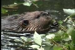 A close-up of a beaver eating leaves in a pond in Alaska. Stock Footage