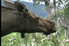 A  of a moose eating leaves in Alaska. Stock Footage