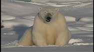 A lone polar bear sits and pants, in the snow near Churchill, Alaska. Stock Footage