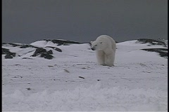 Polar bears walk near a snow-covered shoreline in Churchill, Alaska. Stock Footage