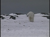 Stock Video Footage of polar bears walk near a snow-covered shoreline in Churchill, Alaska.