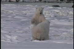 A hand-held shot of two polar bears wresting in the snow in Churchill Alaska. Stock Footage