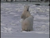 Stock Video Footage of A hand-held shot of two polar bears wresting in the snow in Churchill Alaska.