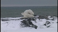 A hand-held shot of two polar bears wrestling in the snow at water's edge in Stock Footage