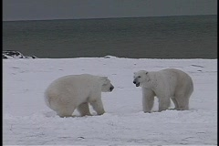 polar bears have a friendly tussle in Churchill, Alaska. - stock footage
